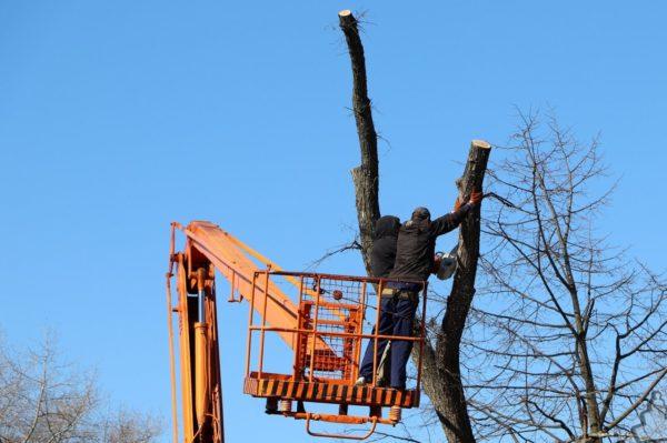 В сквере возле Дворца торжественных событий обрезали аварийные деревья