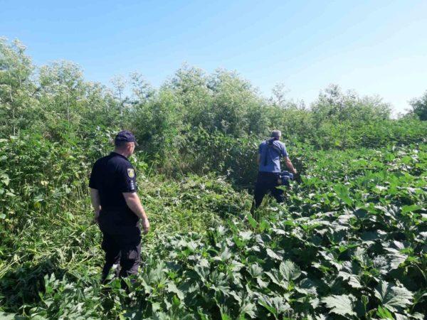 В Александрийском районе нашли почти 1300 кустов конопли