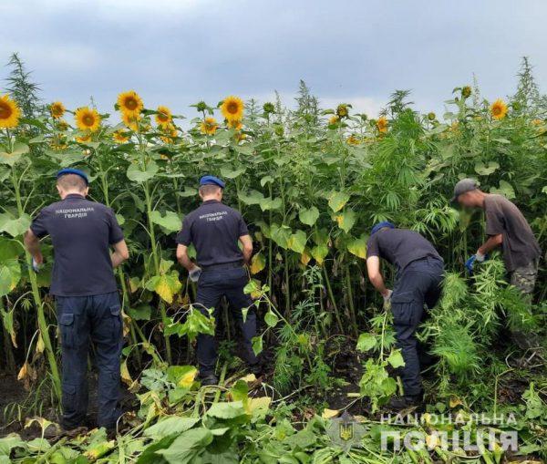 В Кировоградской области полицейские обнаружили поле с коноплей на сумму 10 миллионов гривен (ФОТО)