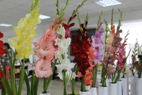 В Александрии состоится выставка гладиолусов (АНОНС)